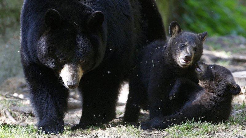 Canada: une ourse noire attaque un chasseur à l'arc dans un arbre