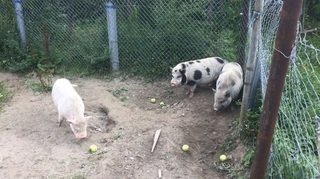 Valais: c'est l'histoire de trois petits cochons abandonnés par un défenseur des animaux