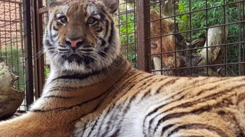 Animaux: deux tigres rescapés d'un zoo syrien ont trouvé refuge aux Pays-Bas