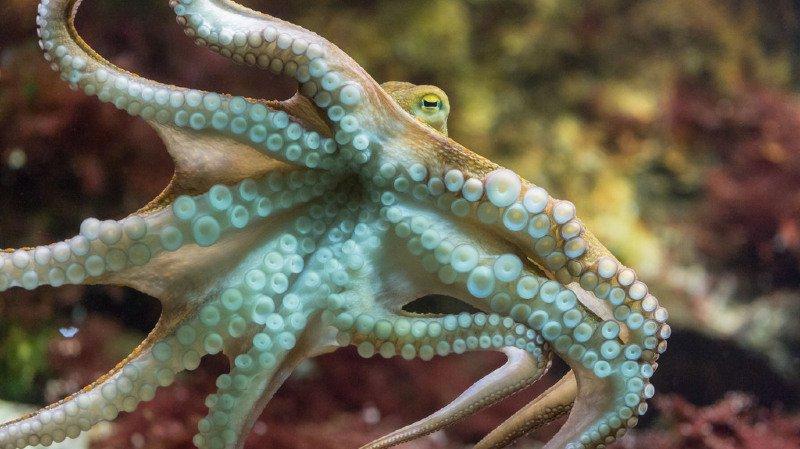 Un poulpe du zoo de Bâle. (archive)