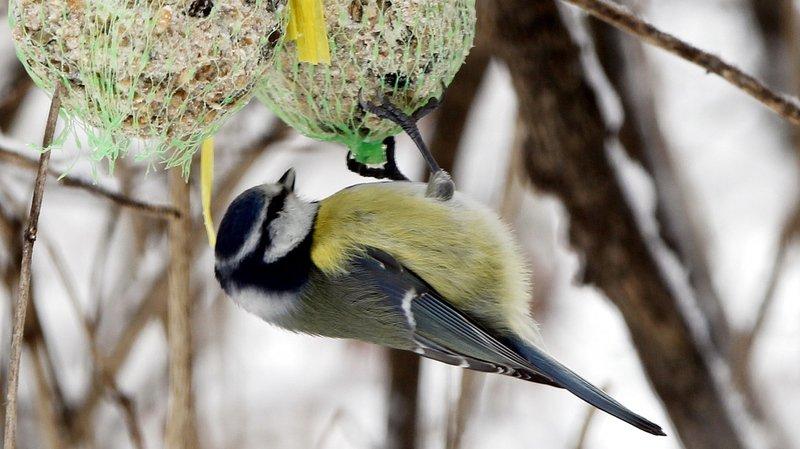 Nourrir les oiseaux oui, mais dans les règles de l'art