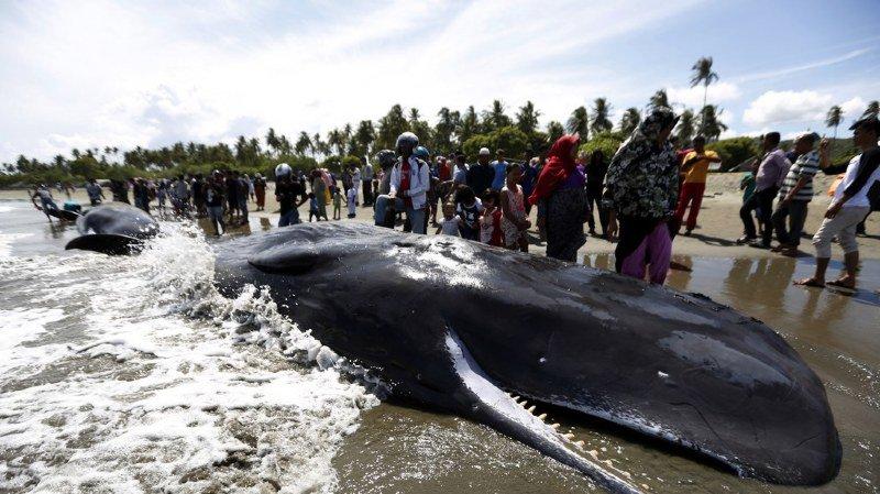 C'est la deuxième fois au cours des dernières années que des cachalots sont découverts échoués au large de Sumatra.