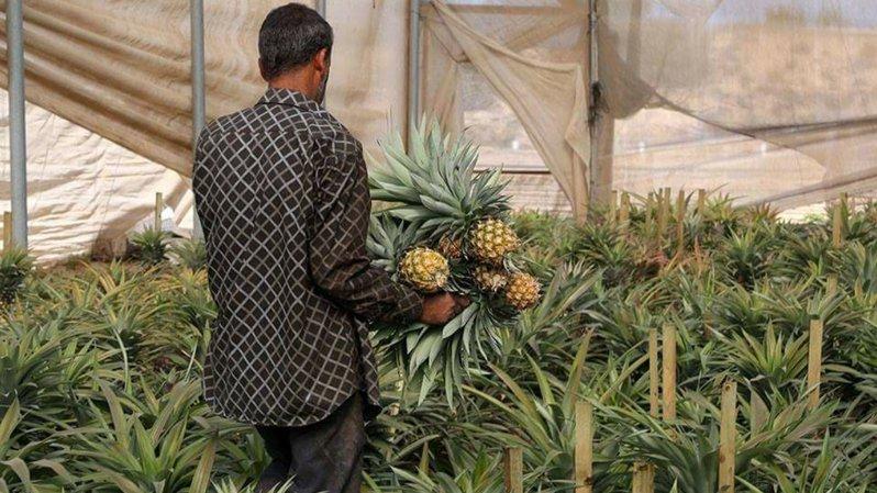 Les premiers ananas de Palestine sont cueillis ces jours.