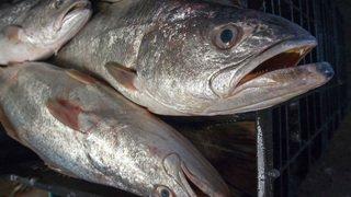 Californie: le poisson le plus bruyant au monde casse les oreilles de ses voisins en période de reproduction