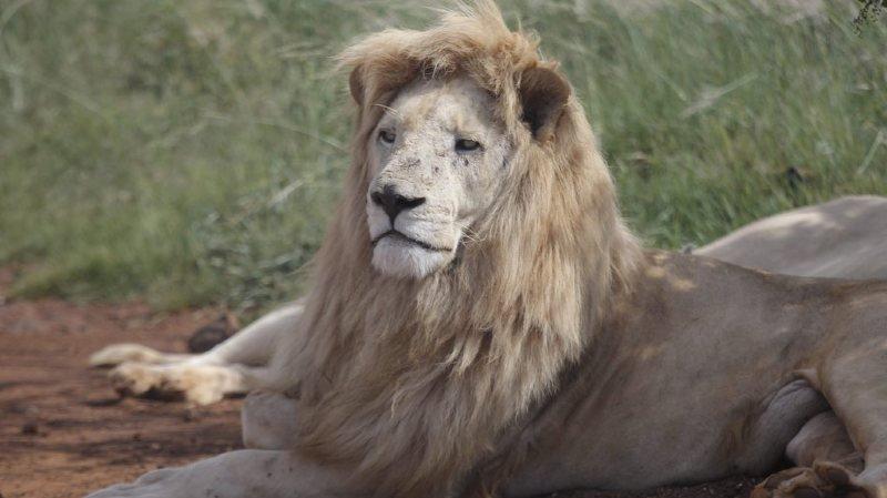 Afrique du Sud: un braconnier présumé se fait dévorer par des lions