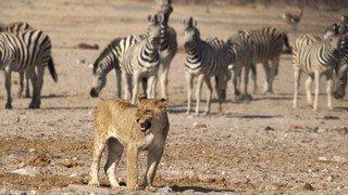 Vous êtes poursuivis par un lion ou un guépard? Voilà comment vous en sortir