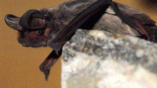 Valais: une étude pour sauver les chauves-souris des pales des éoliennes
