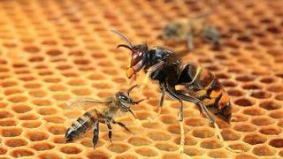 Le frelon asiatique pourrait passer via le Chablais pour menacer les ruches du Valais