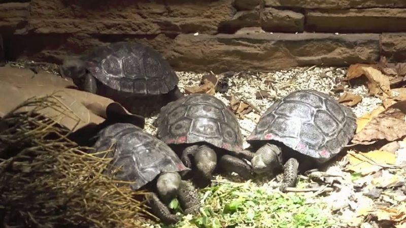 Cela porte à 101 le nombre total de ces reptiles à carapace qui ont vu le jour dans le parc animalier zurichois.