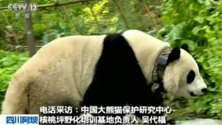 Un panda géant erre dans un village du sud-ouest de la Chine