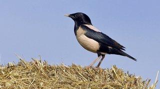 Afflux en Suisse d'un oiseau rare, l'étourneau roselin