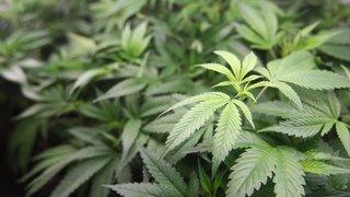 Santé: l'accès au cannabis médical devrait être facilité