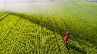 Agriculture: le Tessin est connu pour son merlot ou son risotto, un peu moins pour ses rizières