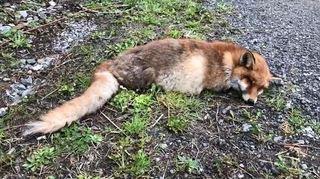 Valais: la maladie de Carré frappe renards, fouines et blaireaux
