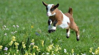 Sciences: les chèvres préfèrent les gens heureux