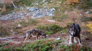 Valais: Jacques Melly ordonne le tir de deux loups