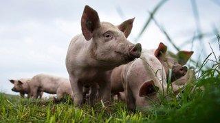 Les éleveurs de porcs se trouvent à un tournant