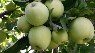 Record du monde: Riddes veut rentrer au Guinness Book avec la plus grande compote de pommes