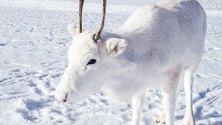 Un bébé renne blanc, très rare et peu farouche, a été photographié en Norvège