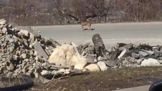 Loye: un loup filmé à l'entrée du village