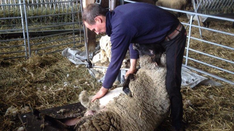 La tonte des moutons, à l'Arche des Crétillons ou à Drône, est toujours très intéressante à observer.