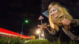Valais: des agents de la circulation pour amphibiens sauvent la peau des crapauds