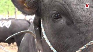 Finale nationale de la race d'Hérens: ils bichonnent leurs vaches pour en faire des reines
