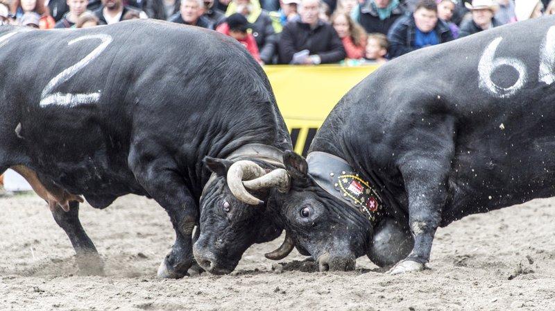 La Fédération suisse d'élevage de la race d'Hérens fêtera ses 100 ans en 2020.