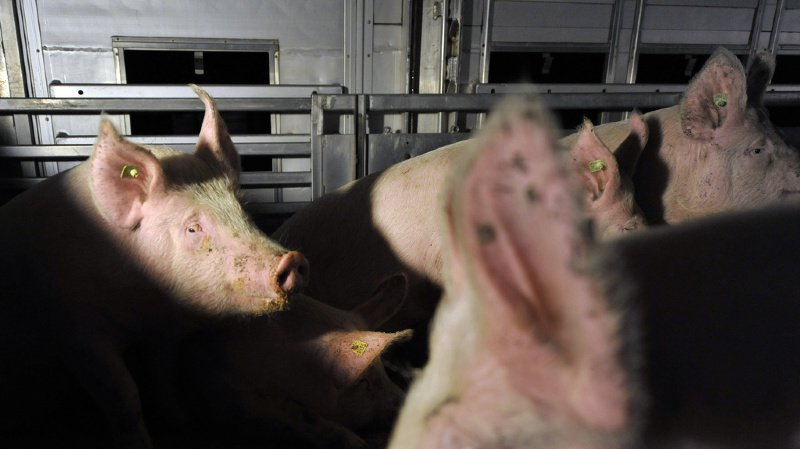 Animaux: l'initiative contre l'élevage intensif a récolté 124'000 signatures