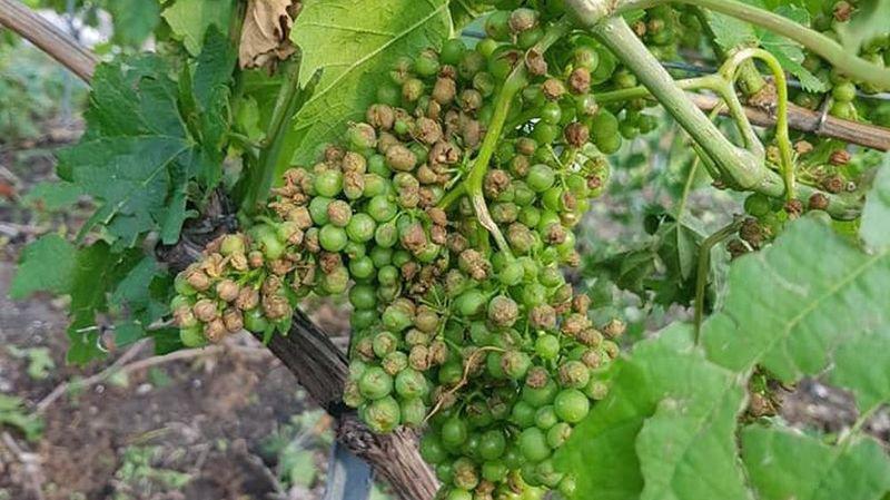 Après Vétroz et Conthey lundi soir (photo), la grêle a frappé moins de 24heures plus tard des vignobles dans les régions d'Ollon (Sierre), Grône et Fully.
