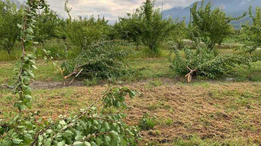 Dans la plaine de Saxon, certains pommiers et poiriers ont été carrément coupés à hauteur du porte-greffe.