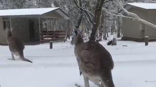 Australie: des images rares de kangourous sous la neige lors d'un hiver extrême
