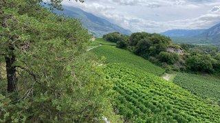 A Salquenen, nature et vignes cohabitent très bien