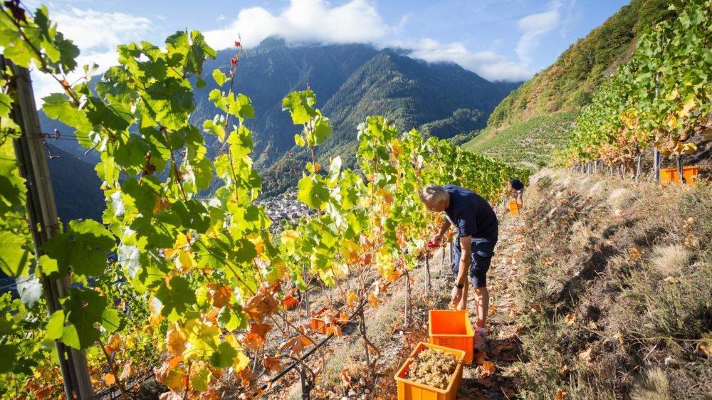 A dix jours du lancement des vendanges 2019, le climat est à l'apaisement entre vignerons et encaveurs.