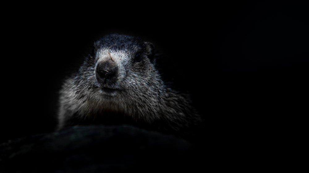Qui est là? Une marmotte, aussi farouche que curieuse et joueuse. Toujours prête à siffler l'alerte.