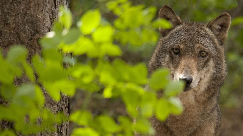 Au total, une vingtaine de moutons sont morts à la suite d'attaque de loups dans le Val d'Illiez en une semaine.