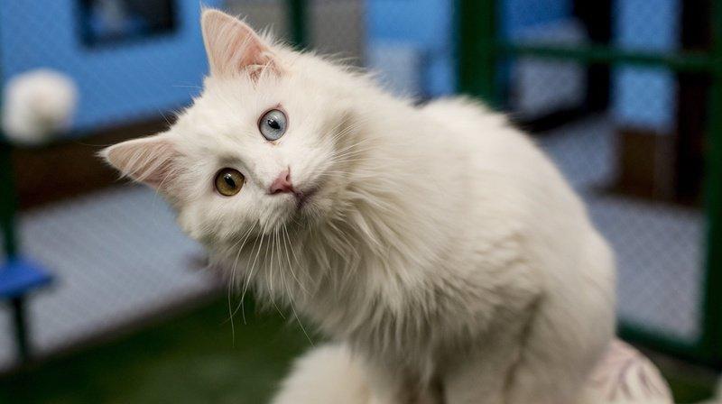 Le vaccin est administré au chat et non à son maître.