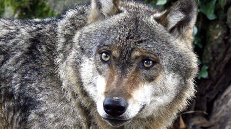 Le Valais votera probablement sur le loup