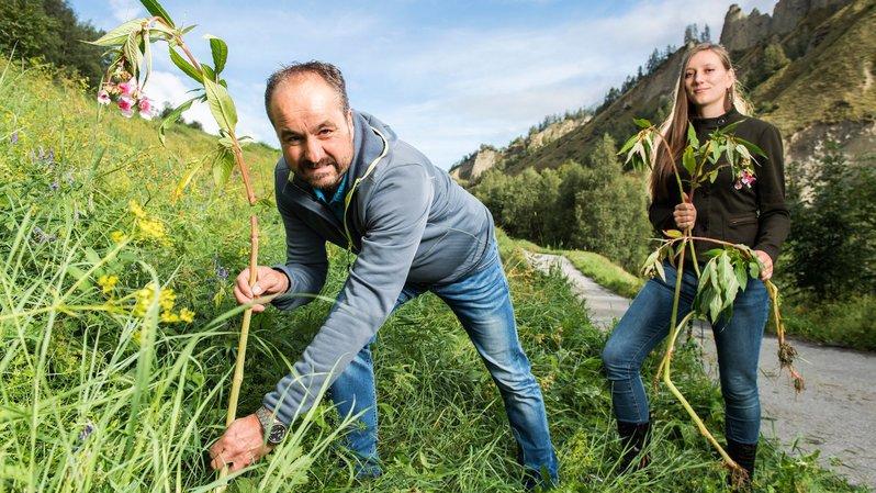 Ils traquent les plantes qui font mal à la biodiversité valaisanne