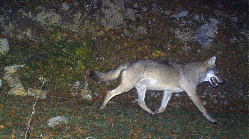 Valais: des chasseurs engagés pour tirer le loup