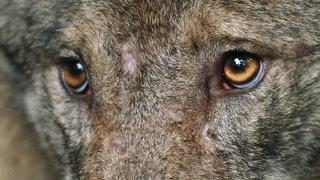 Grisons: une probable quatrième meute de loups découverte