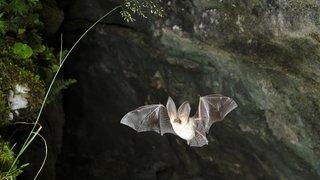 Chauves-souris du Valais: une brochure dit tout sur elles