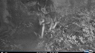 Loups: 205 animaux de rente tués en dix mois, dont 26 dans des situations protégées
