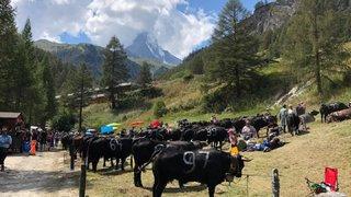 Combat de reines du Cervin: Zermatt remet ça