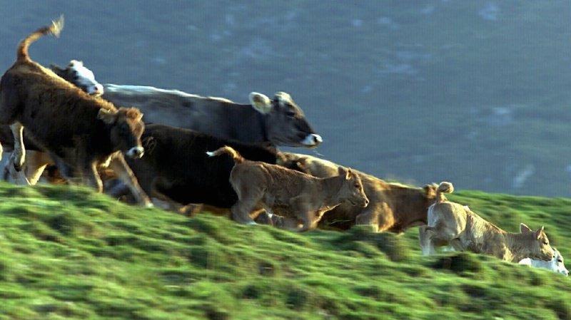 Les bovins ont quitté leur pâturage en fuyant avant de terminer leur course mortelle dans une rivière.