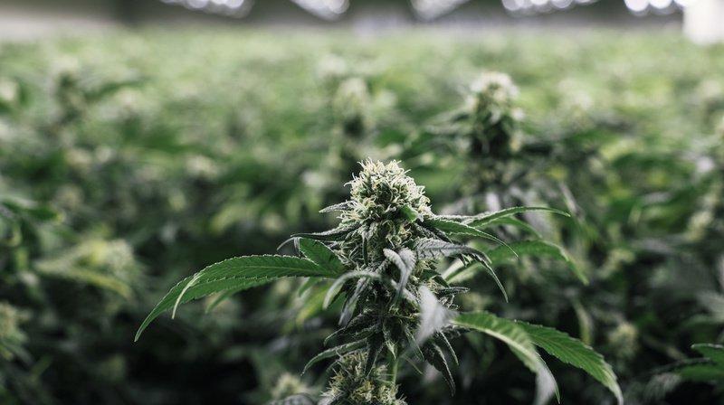 Cannabis: pas de preuve d'efficacité contre les troubles mentaux