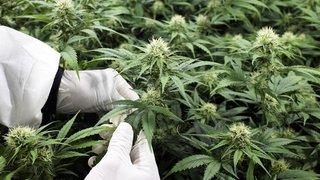 Politique: le National débat des essais pilotes de distribution de cannabis