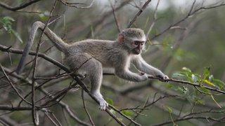 Primatologie: comme les humains, les singes copient leurs leaders