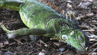 Floride: les services météo mettent en garde contre des chutes d'iguanes